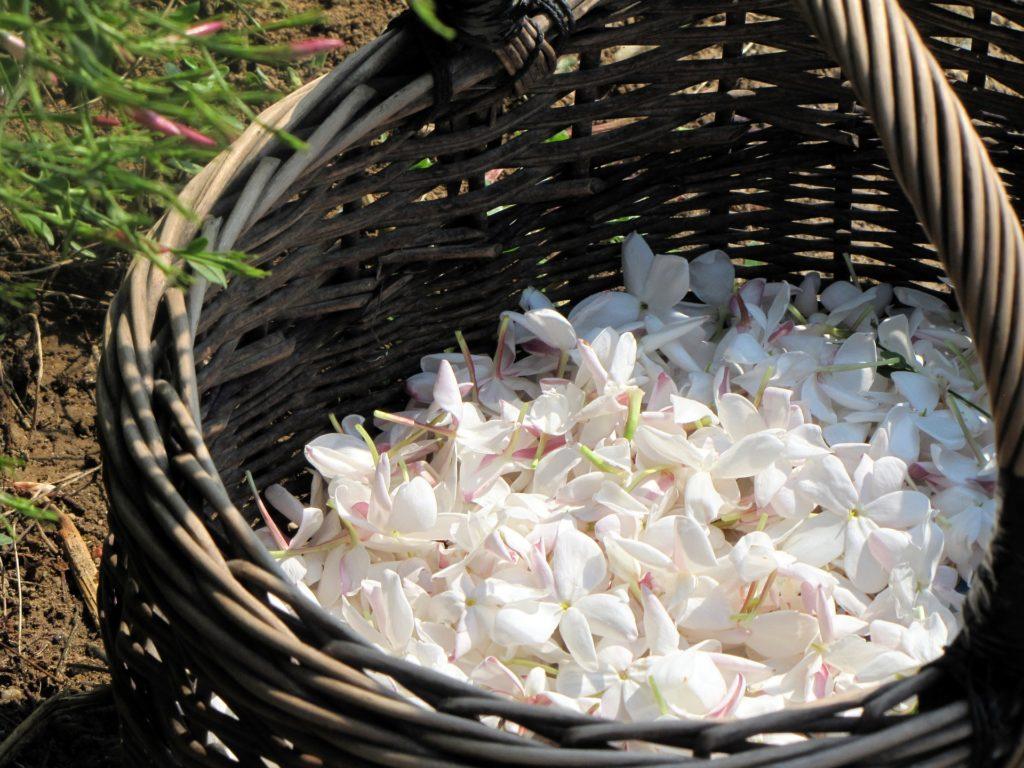 Appartenente alla famiglia delle Oleacee e al genere Jasminum. Il gelsomino è originario delle zone del Medio e dell'Estremo Oriente e dell'America meridionale.