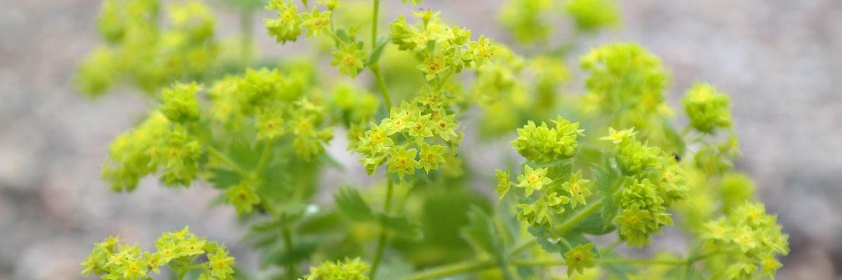 I piccoli fiori dell'Alchemilla